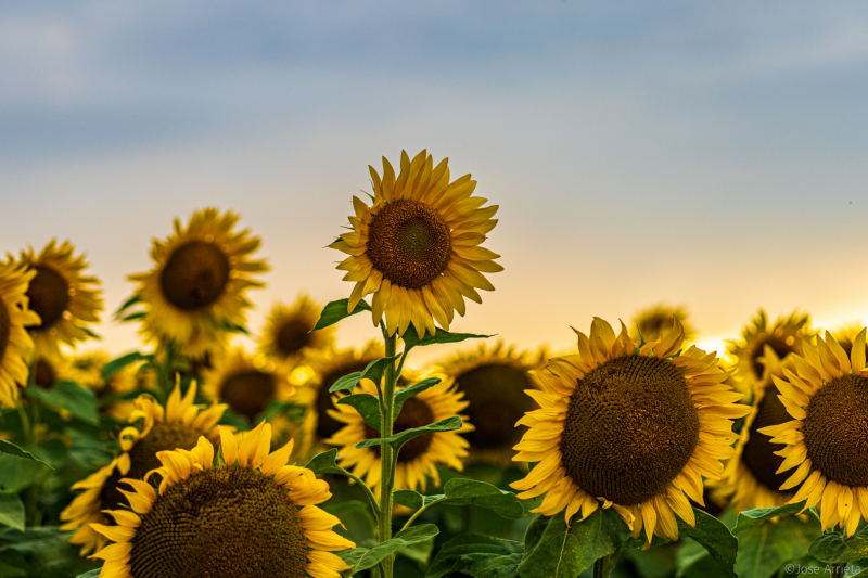 sunflowers-field